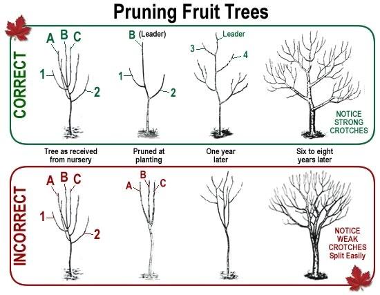Disegno che mostra come deve essere svolta correttamente la potatura degli alberi da frutto