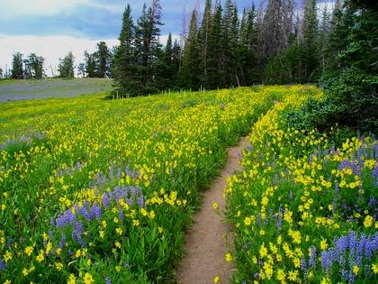 Bosco di abeti, fiori, sentiero