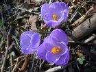 Fiori di Primavera - thumb